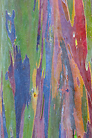 A close-up of the bark of a rainbow eucalyptus tree at the National Tropical Botanical Garden on Kaua'i.