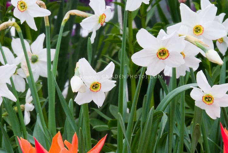 spring bulbs  Paperwhite narcissus Narcissus poeticus var. recurva