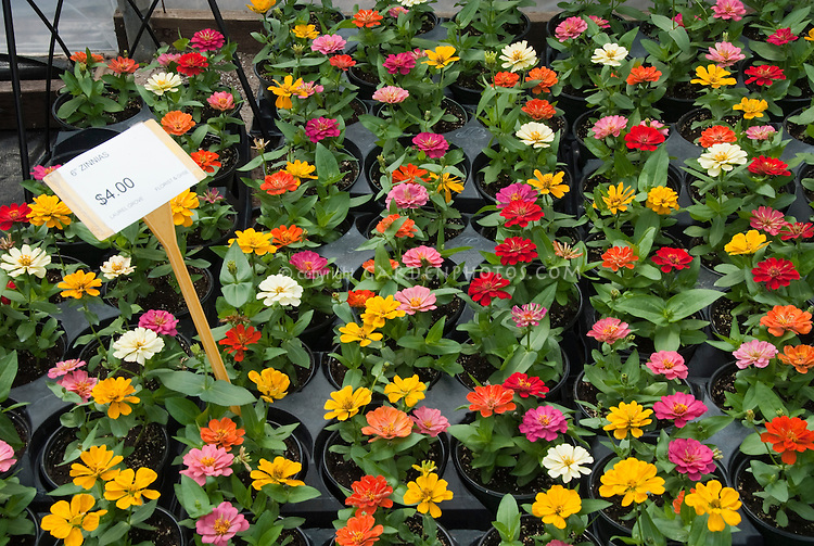 Zinnias annual flowers in pots flats for sale at garden center nursery with sign showing cost of purchase