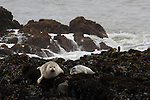 Harbor seal female and pup at Bean Hollow State Beach