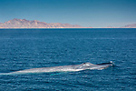 Mexico, Baja California Sur, Sea of Cortez, blue whale (Balaenoptera musculus)