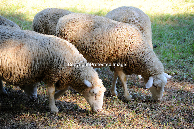 Flock of sheep grazing in pasture in New Hampshire USA