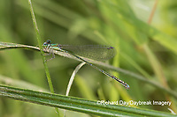 06330-00105 Spaghnum Sprite (Nehalennia gracilis) female in fen Dent Co. MO