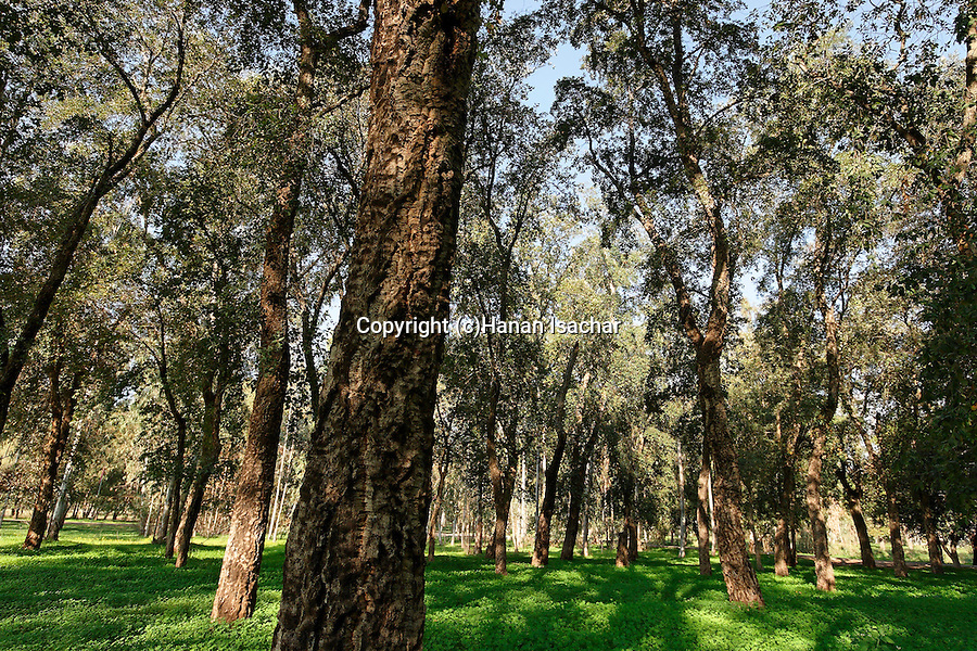 Israel, Sharon region. Cork Oak (Querqus suber) in Ilanot