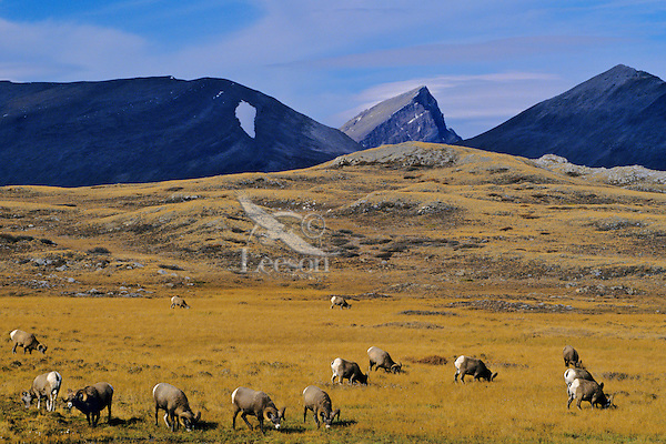 Bighorn Sheep rams grazing in Wilcox Pass, Canadian Rockies, fall.