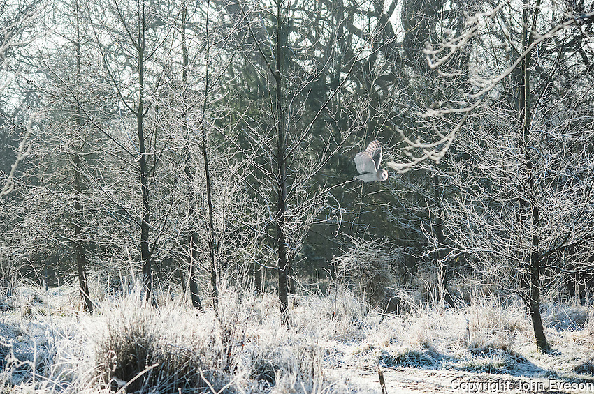 Barn owl (Tyto alba alba) flying through frozen trees covered in frost, Chipping, Lancashire.