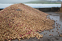 Potatoes for feeding to beef cattle, Perth, Perthshire, Scotland.