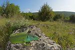 Balkan Green Lizard (Lacerta trilineata), Croatia