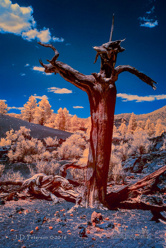 Coyote Tree, Sunset Crater, Arizona (Infrared) © 2016 James D Peterson.  The remnants of a deceased Ponderosa take on a supernatural form in this otherworldly landscape of lava and volcanic cinders.