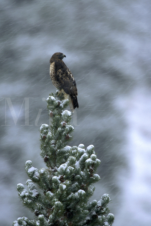 Red-Tailed Hawk (Buteo jamaicensis).  Yellowstone National Park, Wyoming.