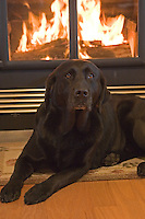 Black Labrador retriever (AKC) lying next to a lite fireplace.  Winter, WI.