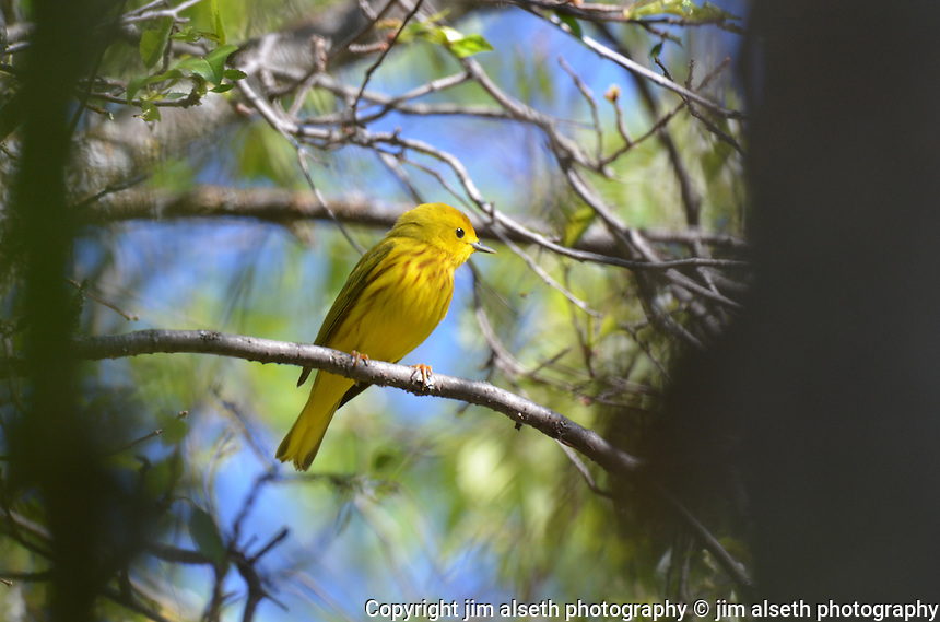 Yellow Warblers are eye-catching songbirds and difficult to photograph... Affordable stock photos with animal photos, wildlife photos and bird photos.