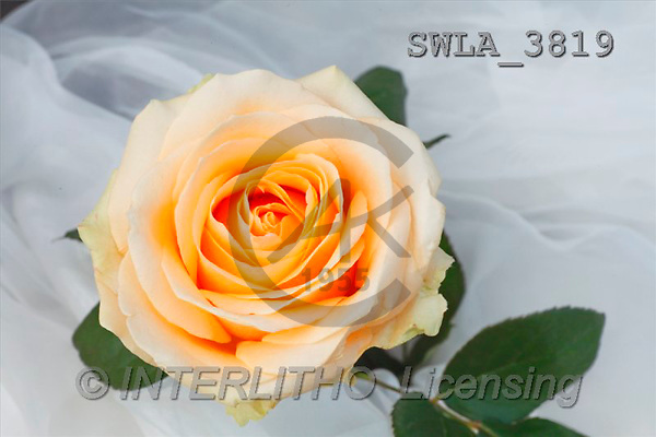 Carl, FLOWERS, portrait, macro, photos, SWLA, SWLA3819,#F# Blumen, flores, retrato