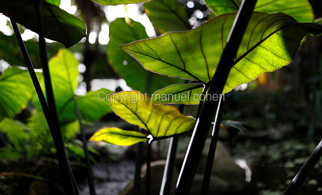 Tropical Rainforest Glasshouse (formerly Le Jardin d'Hiver or Winter Gardens), 1936, René Berger, Jardin des Plantes, Museum National d'Histoire Naturelle, Paris, France. Detail of Xanthiosoma violaceum in the morning light.