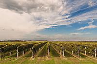 &quot;Grape Farm&quot;<br /> Long Island Vineyard<br /> Cutchogue, Long Island