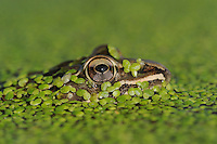 Rio Grande Leopard Frog (Rana berlandieri), adult in duckweed, Fennessey Ranch, Refugio, Corpus Christi, Coastal Bend, Texas Coast, USA