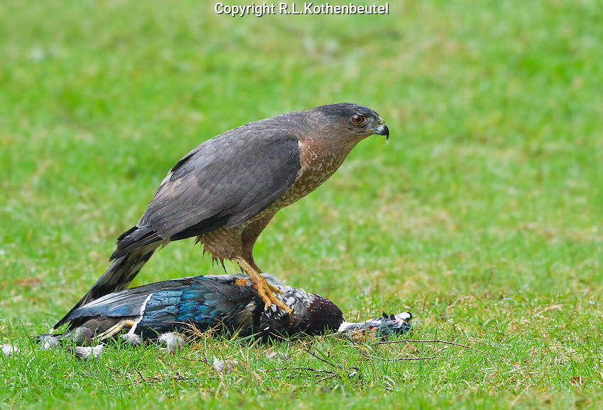 This adult Cooper's hawk captured and killed a male wood duck and then fed upon it.