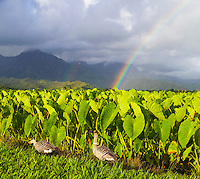 Nene at the Hanalei National Wildlife Refuge on Kauai, with double rainbows in distance