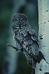 Great Gray Owl - Strix nebulosa..Print 1667