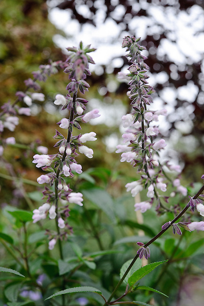 Salvia Leucantha 'Waverly'
