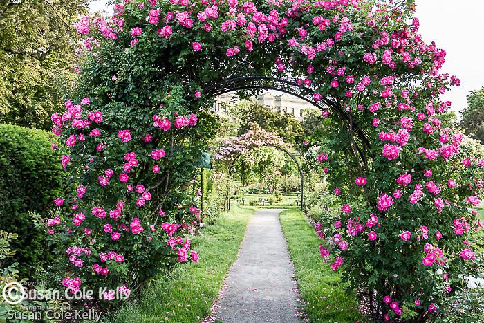 Fourth of July roses in the James P. Kelleher Rose Garden, Boston, Massachusetts, USA