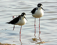 Pair of adult black-necked stilts