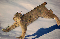 LYNX running on snow with big feet..Winter. Rocky Mountains..Felis lynx canadensis.