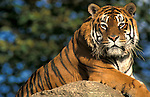 Sumatran Tiger, Panthera tigris, captive, sitting on rock, majestic....