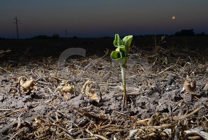 Planta de soja sobreviviendo a la sequia, Coronel Isleño, Argentina