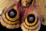 IO moth wings, Automeris IO