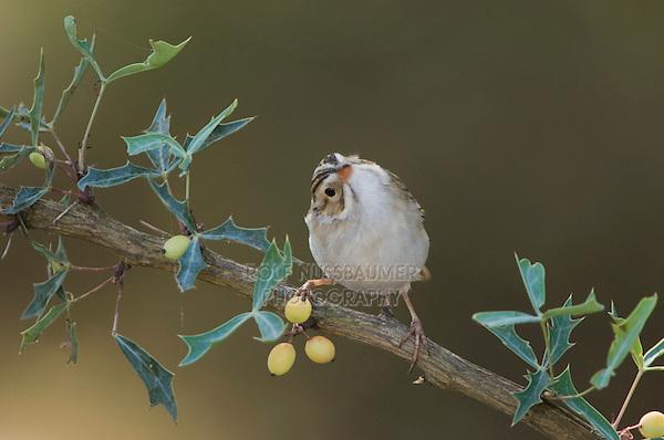 Clay-colored Sparrow, Spizella pallida, adult on Agarita (Berberis trifoliolata), Uvalde County, Hill Country, Texas, USA, April 2006
