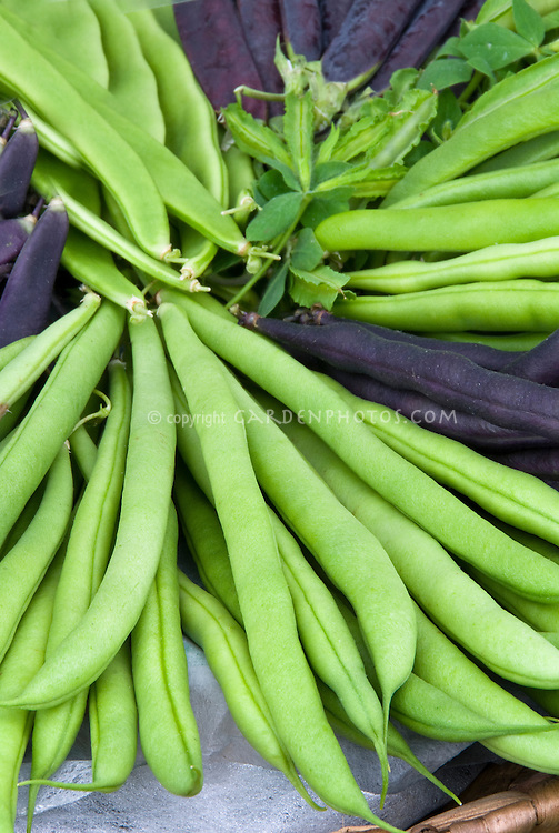 Bean Kentucky Wonder pole beans heirloom variety of vegetable, harvested, with purple beans (clockwise from top) Purple Podded, Dwarf Purple Teepee & Cosse Violette