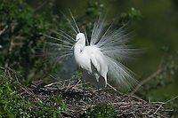 Great Egret (Ardea alba) in full breeding plumage standing on its nest at the Venice Rookery, Venice, Florida