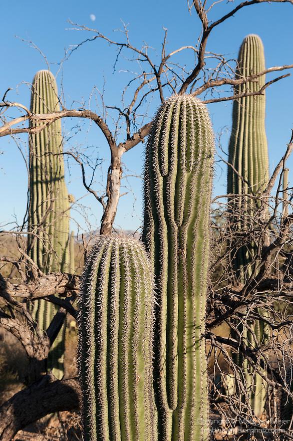 Sabino Canyon, Tucson, Arizona; several Saguaro Cactus (Carnegiea gigantea) growing amongst a dying Palo Verde tree