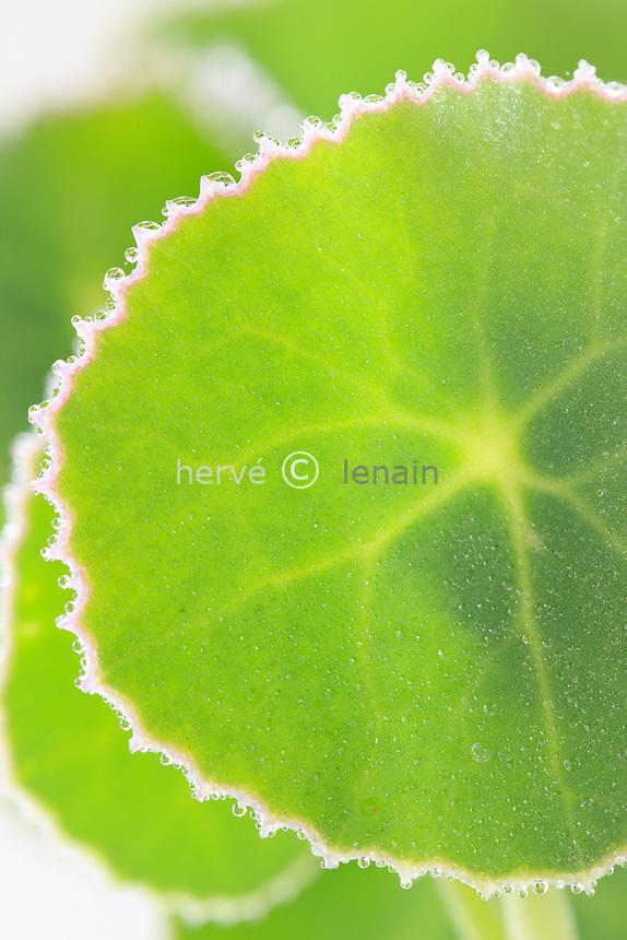 Senecio oxyriifolius, feuilles et rosée // Senecio oxyriifolius, leaves and dewdrops
