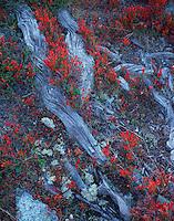 Mission Matterhorn, autumn vegetation close to Greenlake, red blueberry leafs, Vaccinium myrtillus, Matterhorn, Switzerland