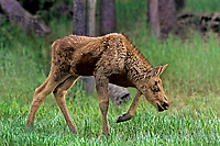 660509017 a moose calf alces alces forages in grasses in a clearing in yellowstone national park wyoming
