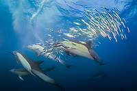 long-beaked common dolphins, Delphinus capensis, feeding on sardine bait ball, Sardinops oecllata, Port St Johns, Transkei, South Africa