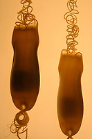 Leopard Catshark (Poroderma pantherinum) (c) Egg cases of a Leopard Catshark in a controlled incubator.