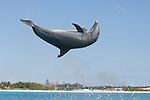 Grand Bahama Island, The Bahamas; a Common Bottlenose Dolphin (Tursiops truncatus) turning flips as it leaps out of the water