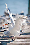 Captiva Island, Florida; a Royal Tern (Thalasseus maximus) bird spreads it's wings on a wooden pier covered with a flock of Royal Tern (Thalasseus maximus) and Sandwich Tern (Thalasseus sandvicensis) birds © Matthew Meier Photography, matthewmeierphoto.com All Rights Reserved