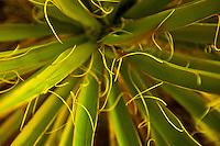 Yucca Closeup