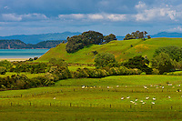 Sheep grazing in Duder National Park (with the Coromandel Peninsula in background), south of Auckland, North Island, New Zealand