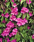 9003-CM Violet Trumpet Vine, Clytostigma callistegioides, flowers, foliage, at Azusa, CA USA.
