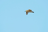 Western Sandpiper (Calidris mauri) in its display flight. Yukon Delta National Wildlife Refuge, Alaska. June.