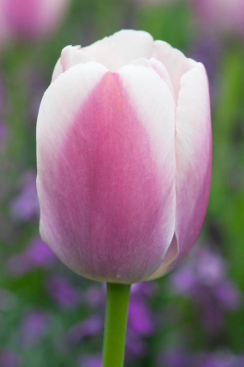 Tulipa 'Ollioules' (Darwin Hybrid Group), mid April.