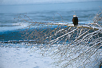 Bald Eagle on snow covered branch over the Chilkat River in Chilkat Bald Eagle Preserve.