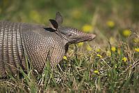 Nine-banded Armadillo (Dasypus novemcinctus), adult, Sinton, Corpus Christi, Coastal Bend, Texas, USA