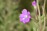 Great Willowherb - Epilobium hirsutum