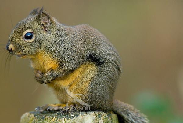 Douglas's Squirrel or Chickaree (Tamiasciurus douglasii).  Pacific Northwest.